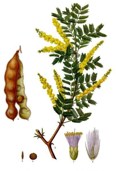 Acacia senegal gum arabic