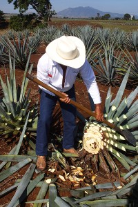 Agave plant by Dede Wilson