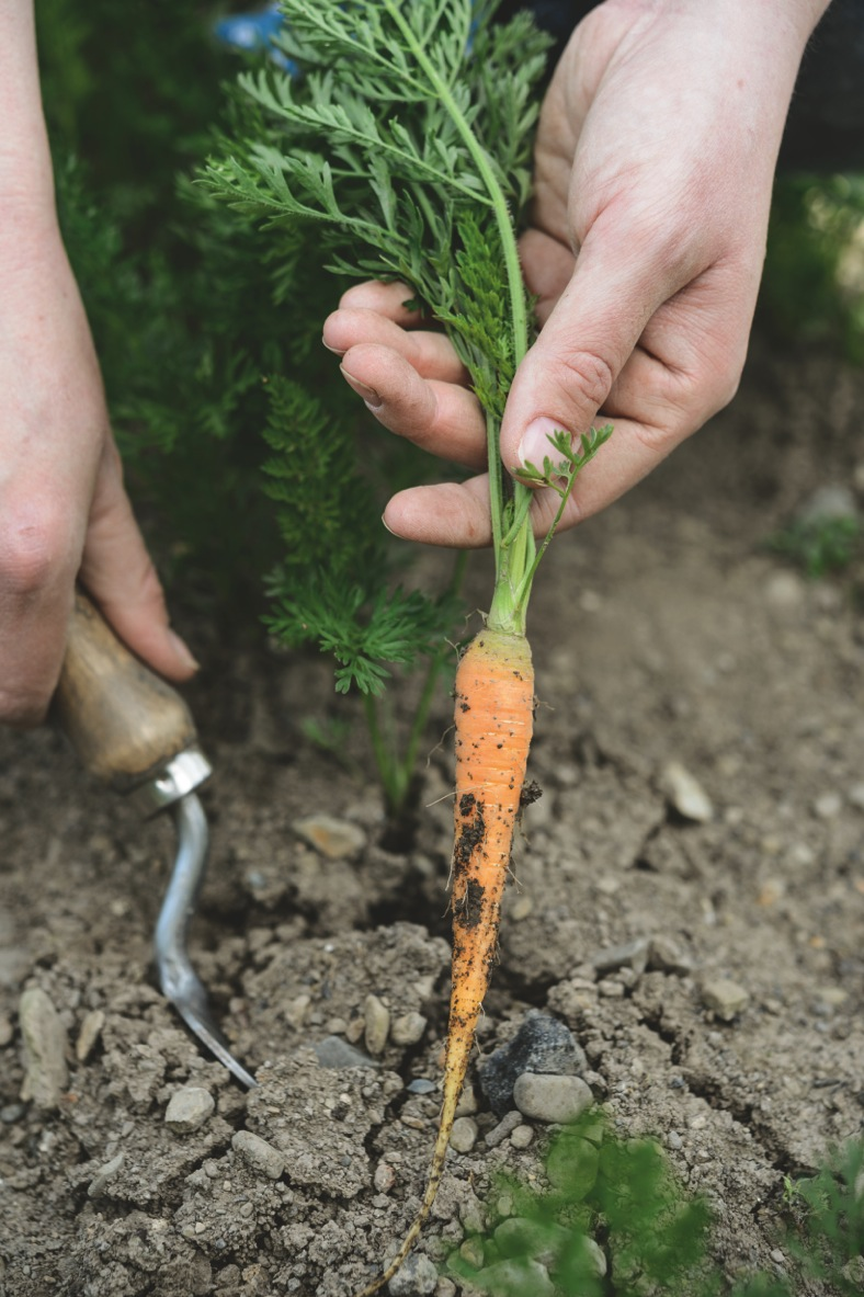 GYOC pg50 grow carrots (c) Jason Ingram (2)